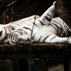 De Bengaalse witte tijger