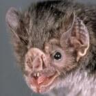 De vampiervleermuis: een bloeddorstige Dracula