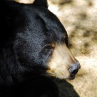 Het leefgebied van de indrukwekkende zwarte beer