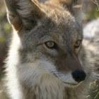 Coyotes: 25 weetjes over kenmerken en gedrag van de dieren