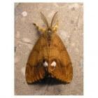 De witvlakvlinder - bijzondere vlinder met prachtige rupsen