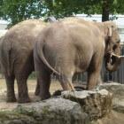 Artis - olifanten in de Amsterdamse dierentuin