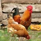 Voeding voor kippen: Wat mogen kippen wel en niet eten