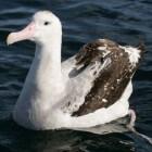 De grote albatros, de grootste (vliegende) vogel ter wereld