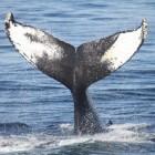Walvismigraties per soort: Waar komen walvissen voor?