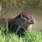 Otter: na uitsterven weer geherintroduceerd in schoner water