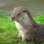 Otters: Zoogdieren die tot de subfamilie 'Lutrinae' behoren