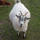 Dracht, bevalling en geboorte bij de geit