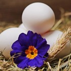 Help, mijn kip legt geen eieren