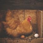 Zijn eieren van eigen kip gezonder of lekkerder?