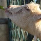 Belangrijke vitaminen en mineralen voor geiten