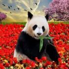 Panda-diplomatie: hoe zit dat?