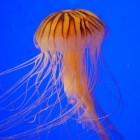 Kwallen: verschillende soorten in de Noordzee