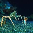 De Japanse spinkrab, de grootste krab ter wereld