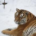 De Siberische tijger: leefomgeving & uiterlijke kenmerken