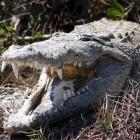 Voortplanting krokodillen en alligators: van paring tot nest