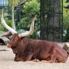 Het Watusirund, een rund met enorme hoorns