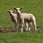 Lammetjesdag: lammetjes kijken op de plaatselijke boerderij