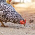 Help, mijn kip eet geen legkorrels