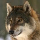 De terugkeer van de wolf in Nederland