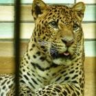 De solitaire luipaard (Panthera pardus)