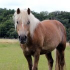 Ijslandse paarden wedstrijden