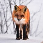 Welke vossen bestaan er allemaal?
