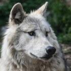 Welke soorten wolven bestaan en bestonden er?