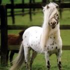 Falabella – een zeer klein paardenras