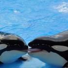 De orka, Killer whale
