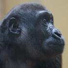Gorilla (grootste nog levende aap)