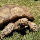 De laatst levende Galapagos schildpad