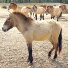 Paardenras: het Przewalski paard
