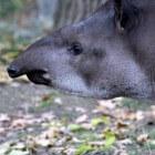 Zoogdieren: Tapirs