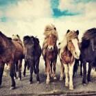 De IJslandse pony: oersterk, stoer en toch charmant
