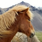 IJslandse paarden: stoere, eigenwijze viervoeters