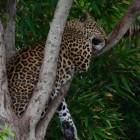 Luipaard: een grote, snelle kat