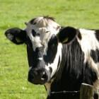 Wat zijn reine en onreine dieren binnen het Jodendom?