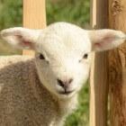 Het couperen van schapenstaarten