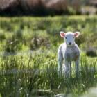 De geboorte van een lam