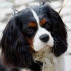 Hondenras: Cavalier King Charles Spaniel