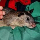 Ratten en verzorging ervan