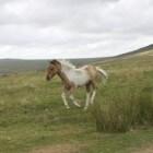 Paardenras: Dartmoor-pony