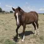 Paardenras: Quarter horse