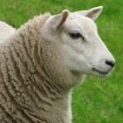 Het scheren van schapen