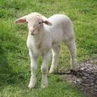 Schapen: Geboorte van een lam of lammeren