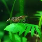 Tijgergarnalen in het aquarium
