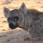 De gevlekte hyena