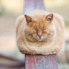 Schijnzwangerschap bij katten