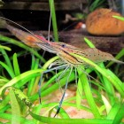Roodneusgarnalen in het aquarium